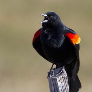 blackbird0001