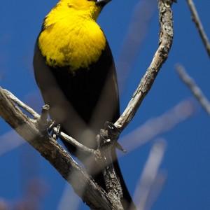 blackbird0002