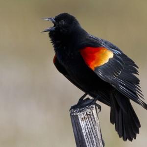 blackbird0003