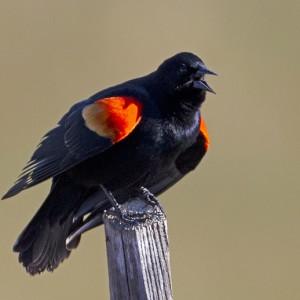 blackbird0007