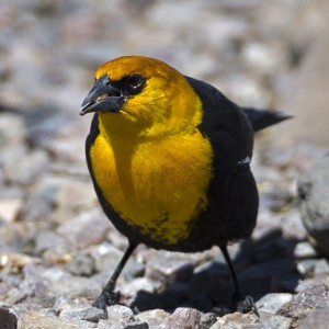 blackbird0008