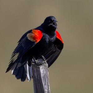 blackbird0010