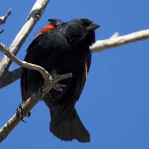 blackbird0018