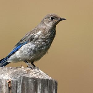 bluebird0002