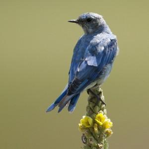 bluebird0003