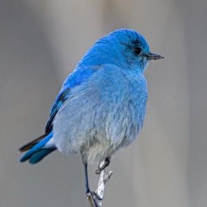 bluebird0004