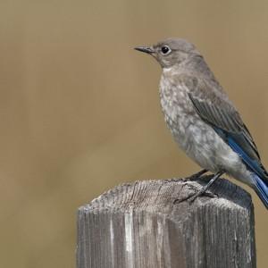 bluebird0005