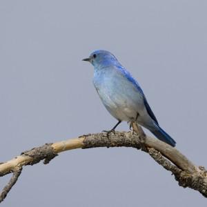bluebird0006