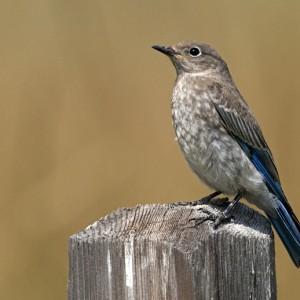 bluebird0008