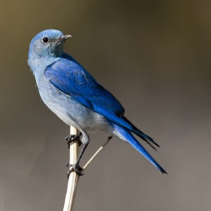 bluebird0009