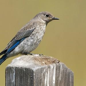 bluebird0010