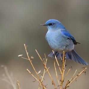 bluebird0011