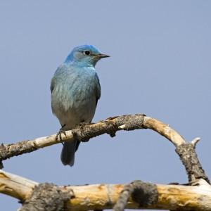 bluebird0013