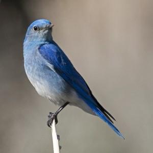 bluebird0014