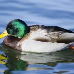 duck0005
