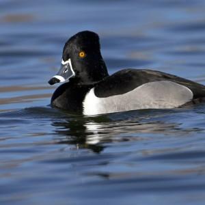 duck0006