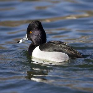 duck0007