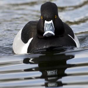 duck0008