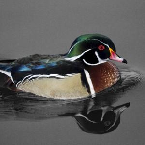 duck0012