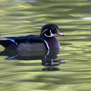 duck0013