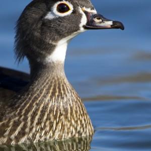 duck0016