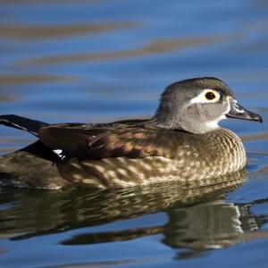 duck0018