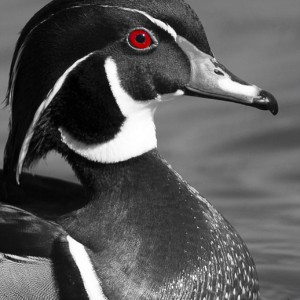 duck0022