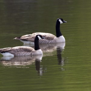 geese0011