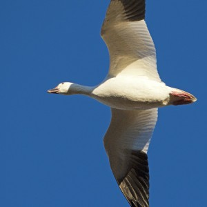 geese0014