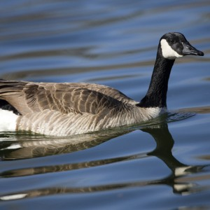 geese0016