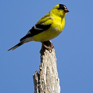 goldfinch0002