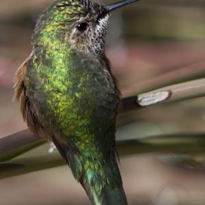 hummingbird0001