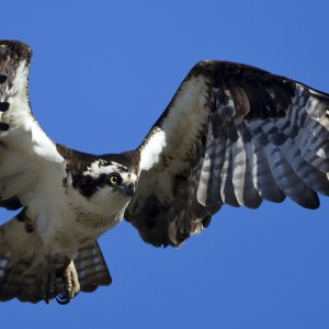 osprey0001