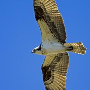 osprey0008