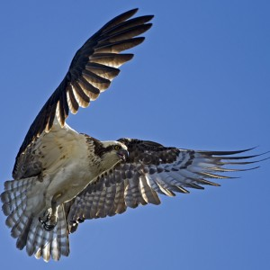 osprey0010