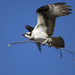 osprey0015