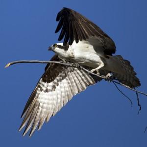 osprey0020