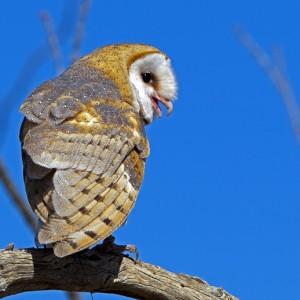 owl0016