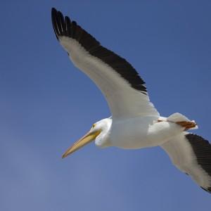 pelican0002