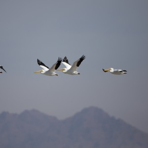 pelican0006