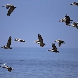 pelican0008