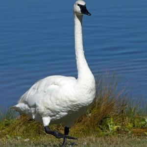 swan0001