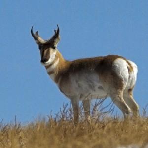 antelope0002