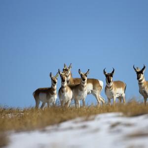 antelope0003