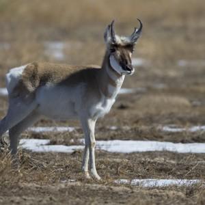 antelope0004