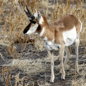 antelope0005
