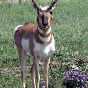 antelope0006