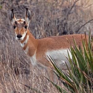 antelope0009