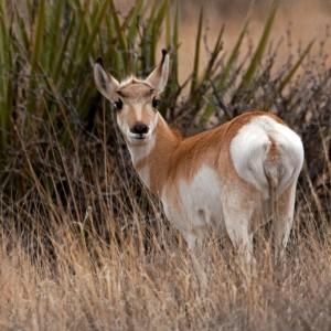 antelope0011