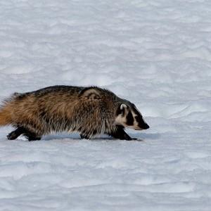 badger0004